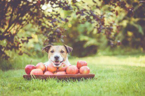 Um cachorro feliz que está comendo maçãs.