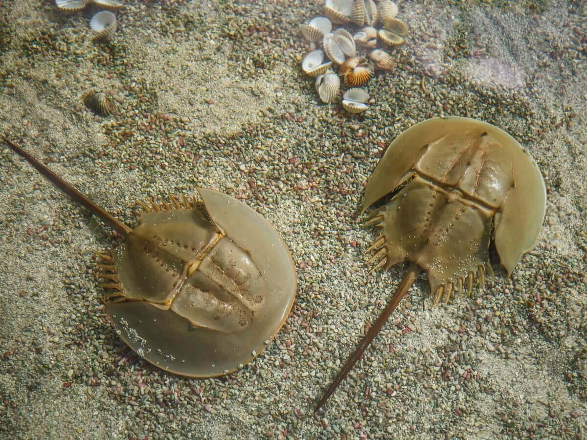 Um par de caranguejos-ferradura.