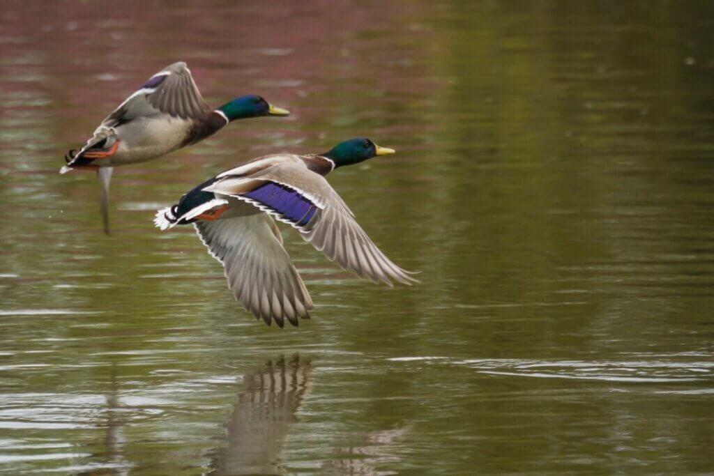5 diferenças entre patos e gansos