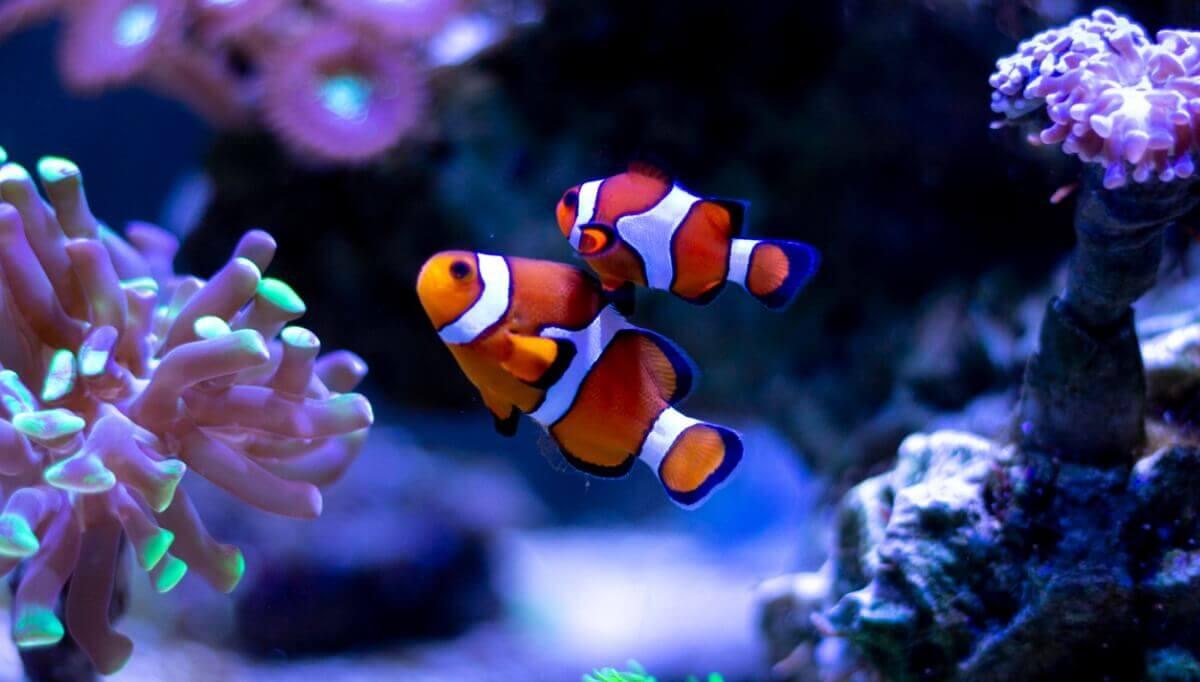 Um casal de peixes-palhaços