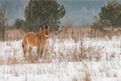 Um cavalo de Chernobyl olha para a câmera.