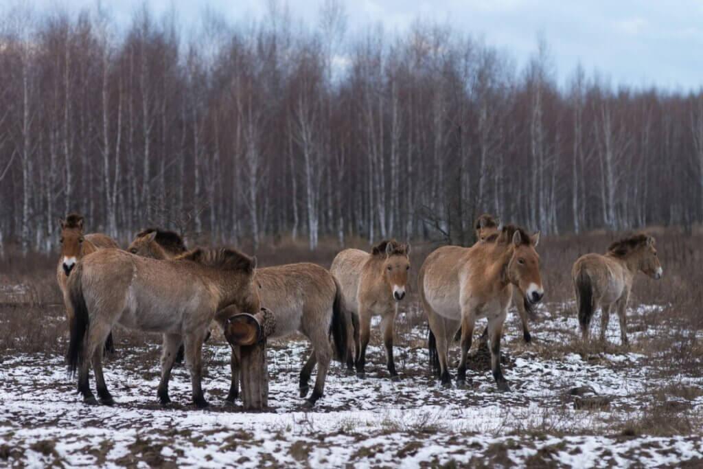 Os cavalos de Chernobyl: como eles sobrevivem?