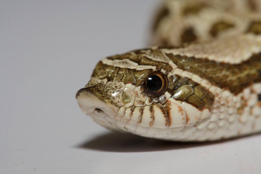 As cobras são capazes de ouvir sons?