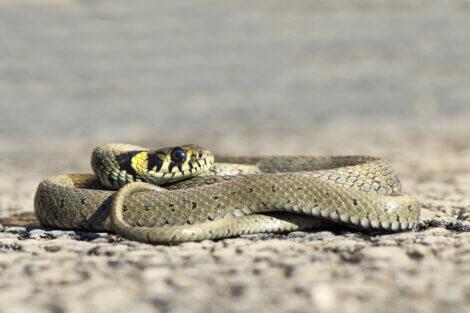 Uma cobra enrolada.