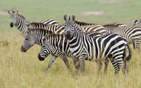 Uma zebra olhando para a câmera.