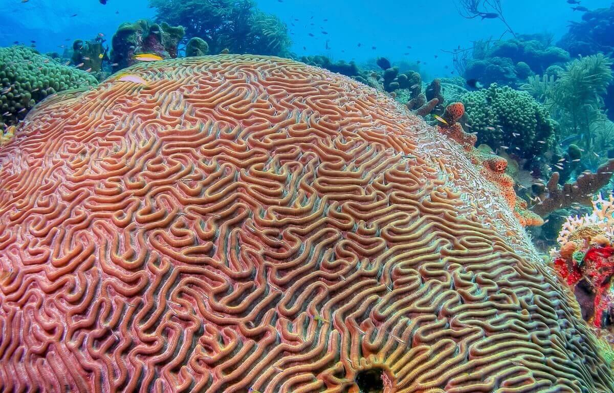 Um dos tipos de corais.