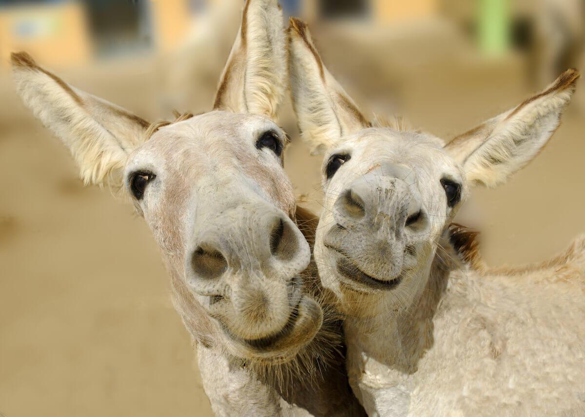 Dois burros felizes.