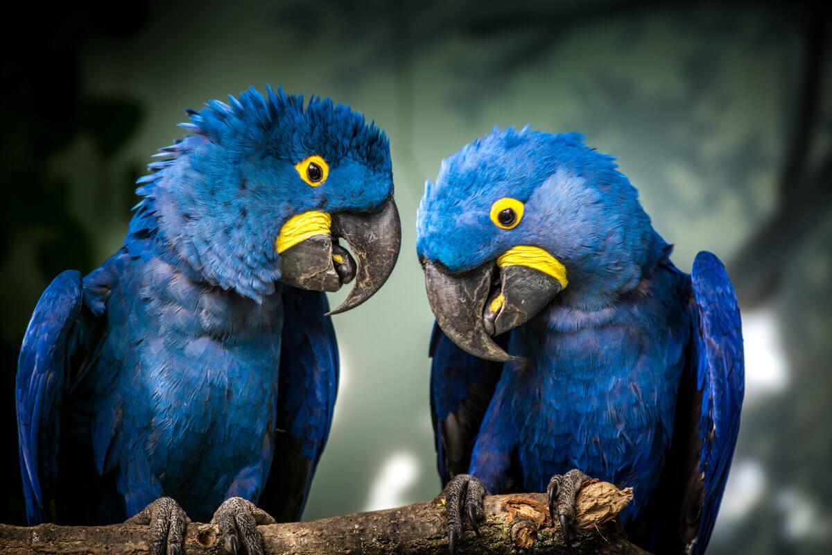 Duas araras-azuis-grandes.