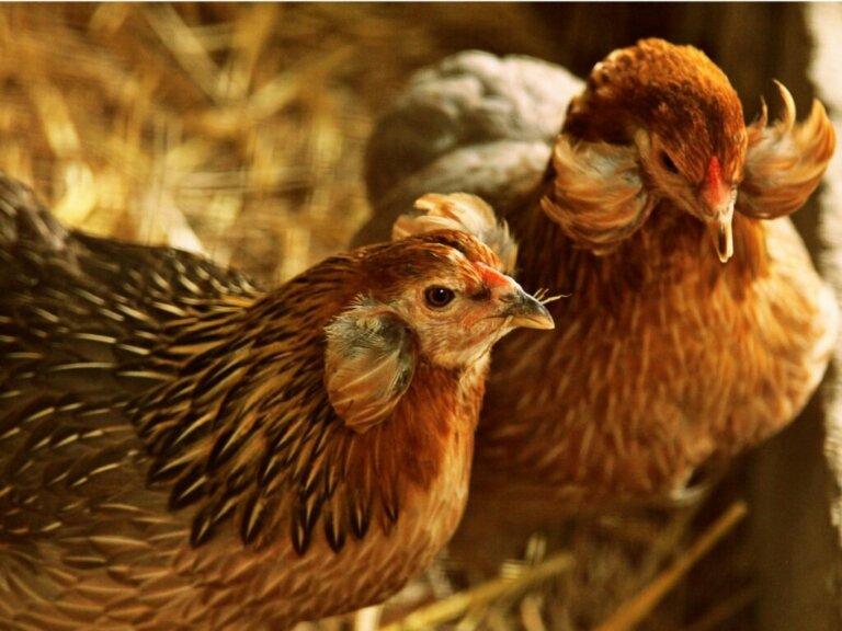 Galinha araucana: reprodução, alimentação e cuidado