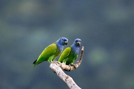 Duas maitacas-de-cabeça-azul