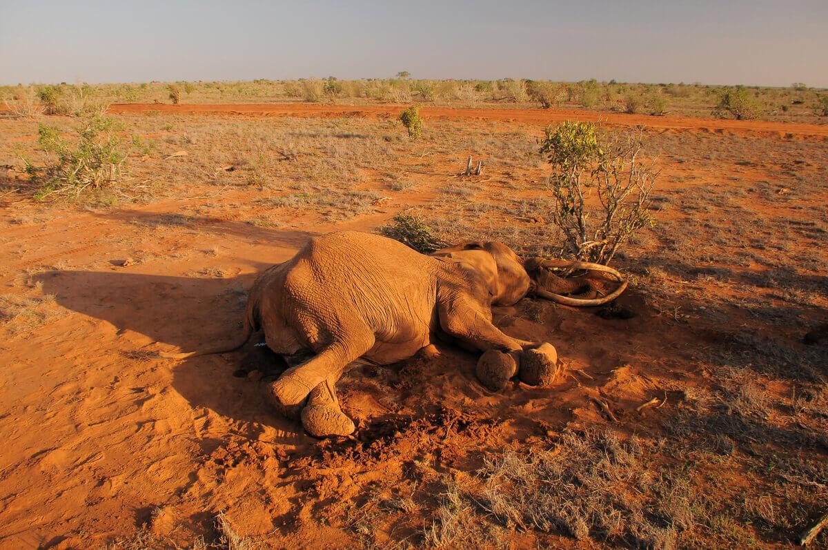 Um elefante morto no chão.