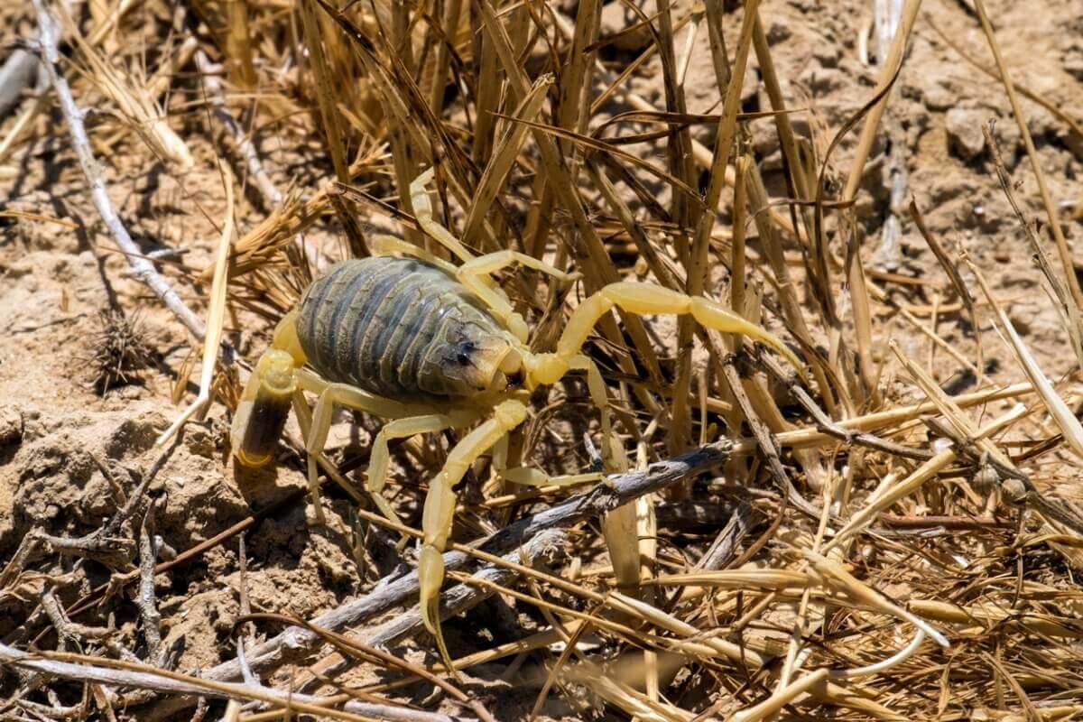 Um escorpião em um arbusto.