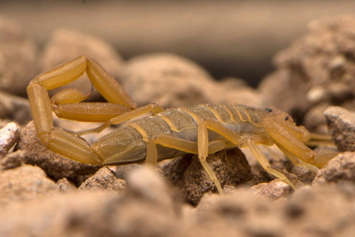 Um escorpião Centruroides sculpturatus andando pela areia.