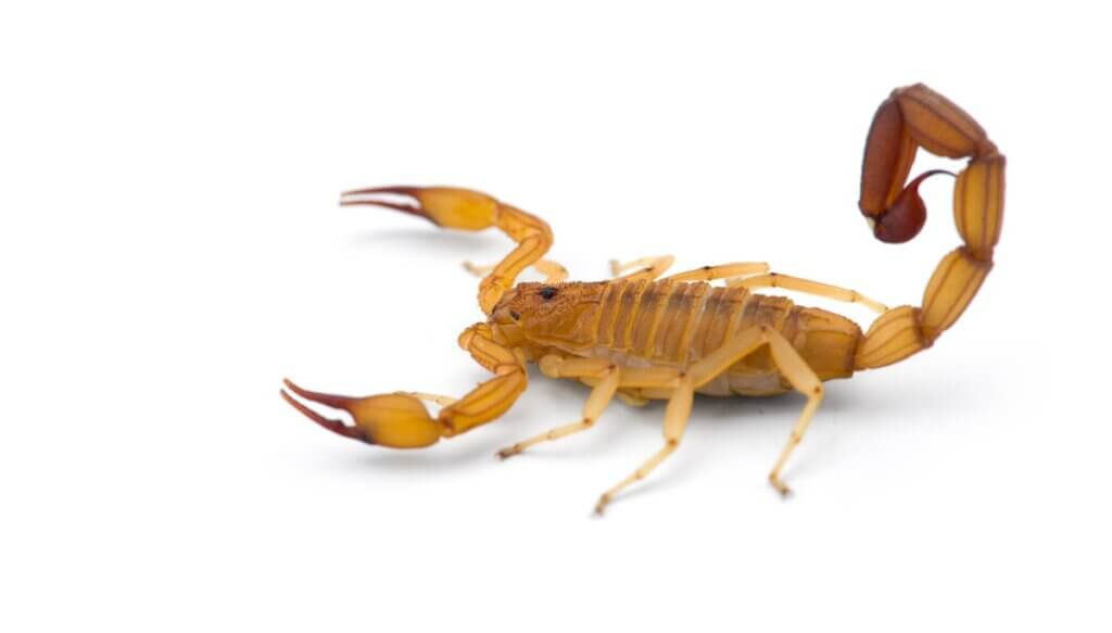 Um escorpião da casca do Arizona em um fundo branco.