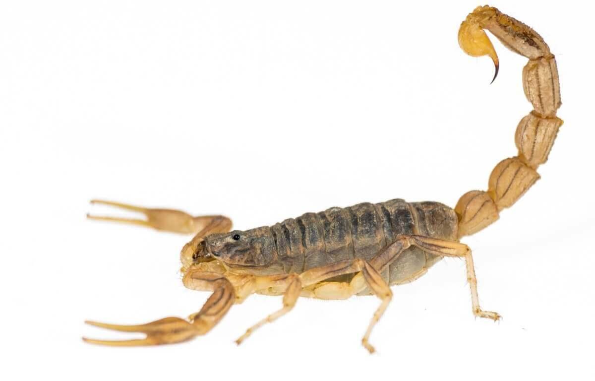 Um escorpião em um fundo branco.