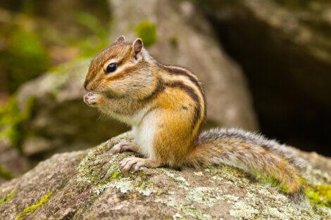 Um esquilo comendo em cima de uma pedra.