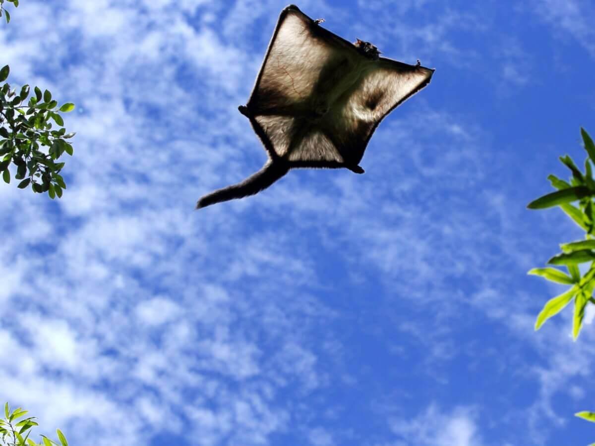 Um esquilo-voador visto de cima.