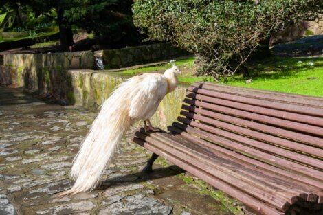 Um pavão albino em um banco.