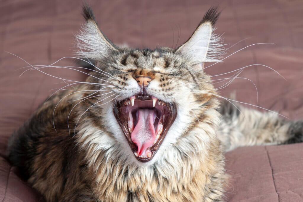 Um gato de boca aberta.