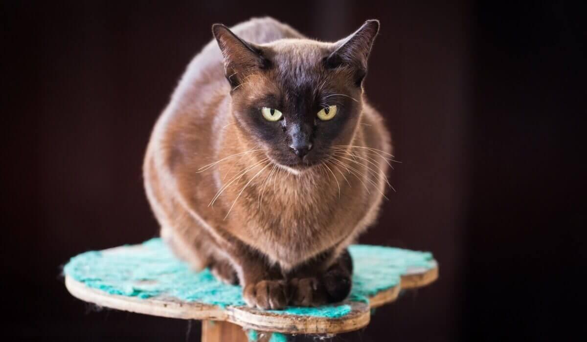 Um gato birmanês sentado.