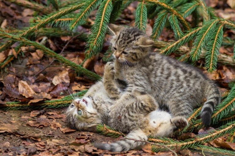 As raças de gatos com menos doenças