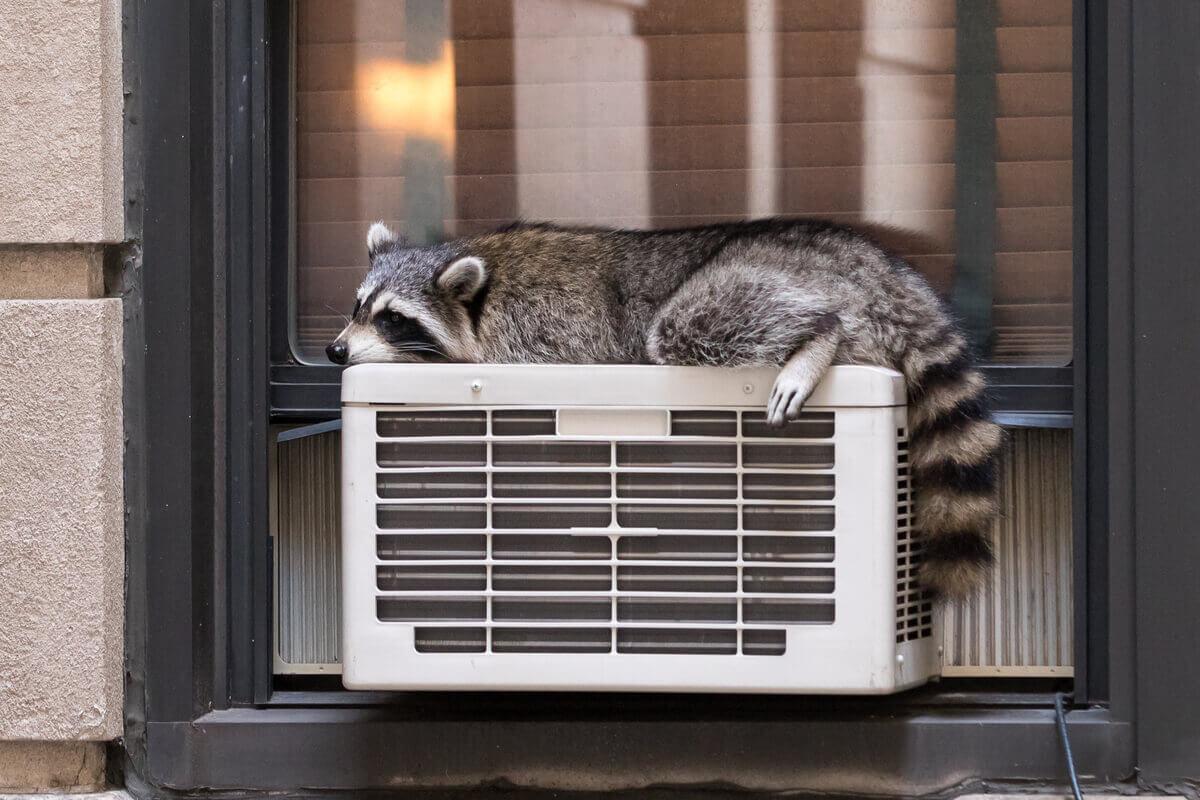 Um guaxinim termorregulando no ar condicionado.