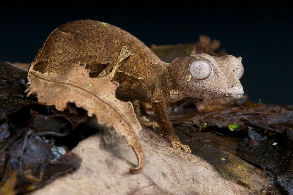 Um dos animais mais raros de Madagascar.