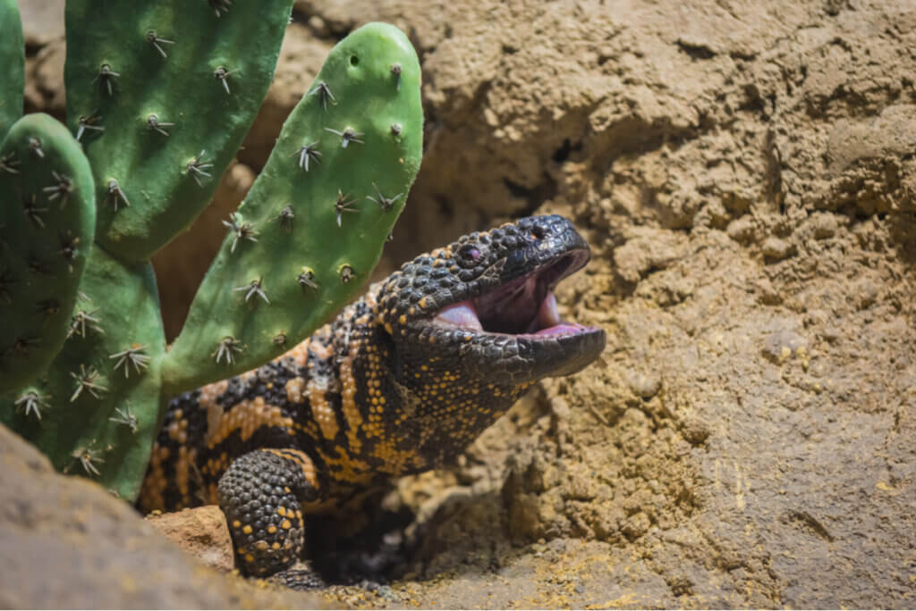 Existem lagartos venenosos?
