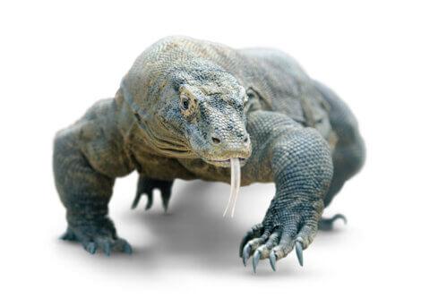 Lagartos-monitores são lagartos venenosos.