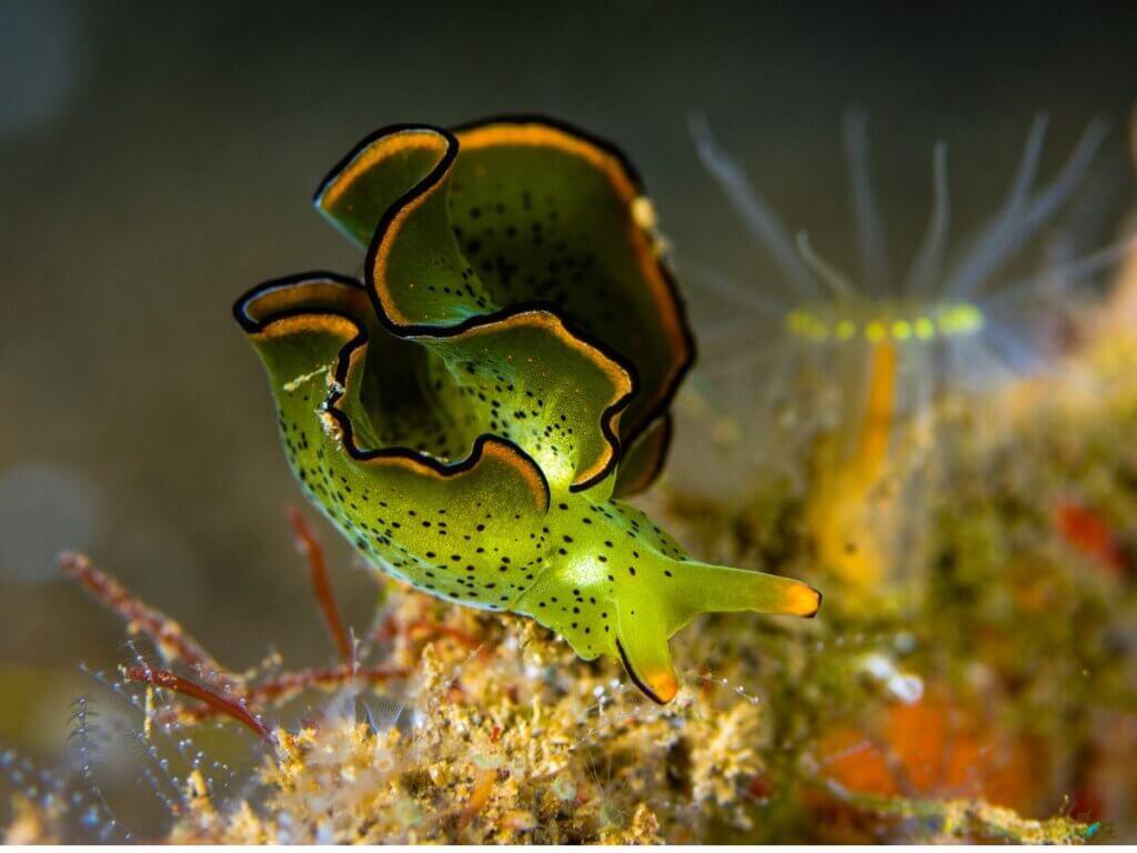 A lesma-do-mar Elysia chlorotica: um animal que faz fotossíntese