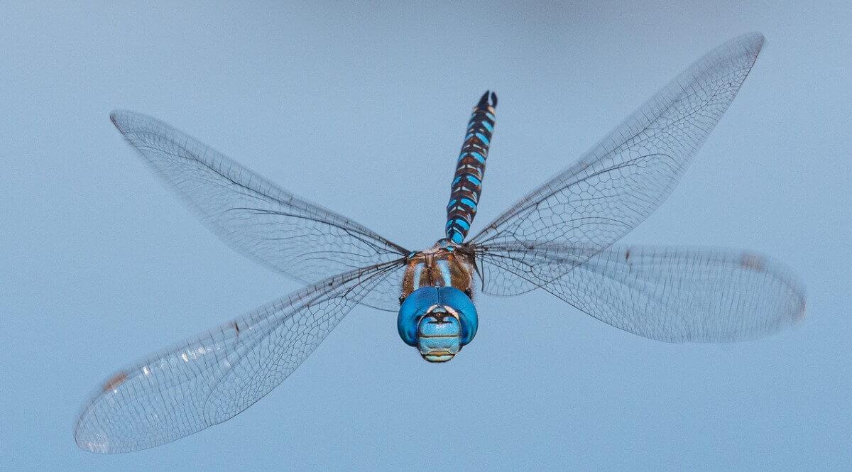 Uma libélula em vôo.