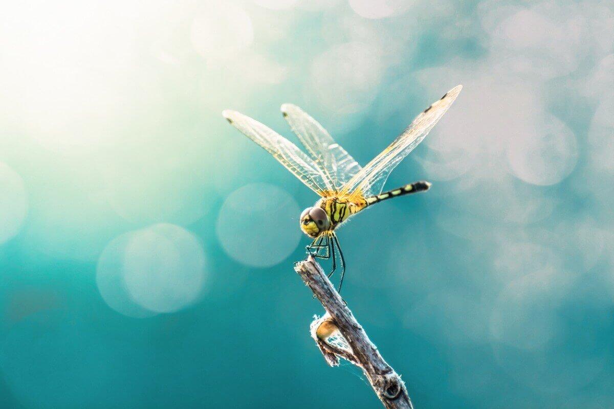 As libélulas são um dos animais com olhos grandes.