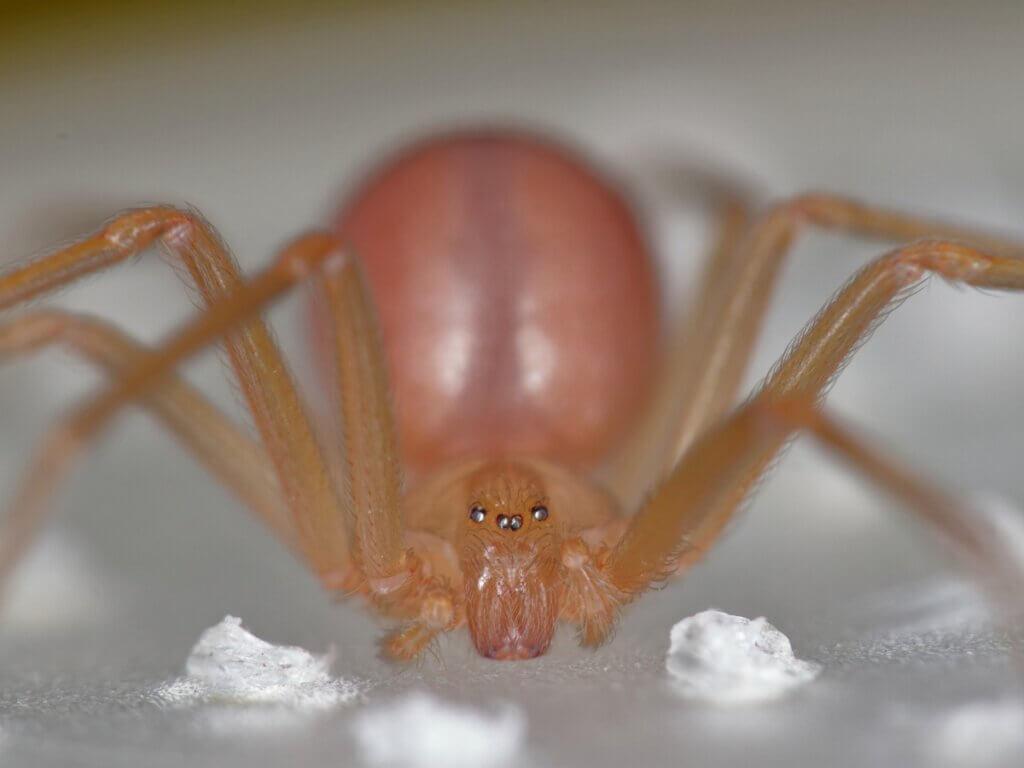 As aranhas-marrons: habitat e características