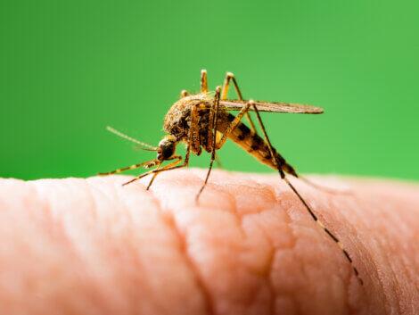 Mosquito picando pele.