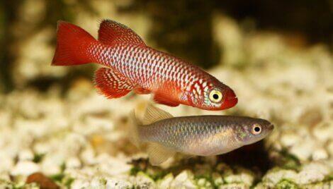 Os peixes turquesa são um dos animais menos longevos do mundo.