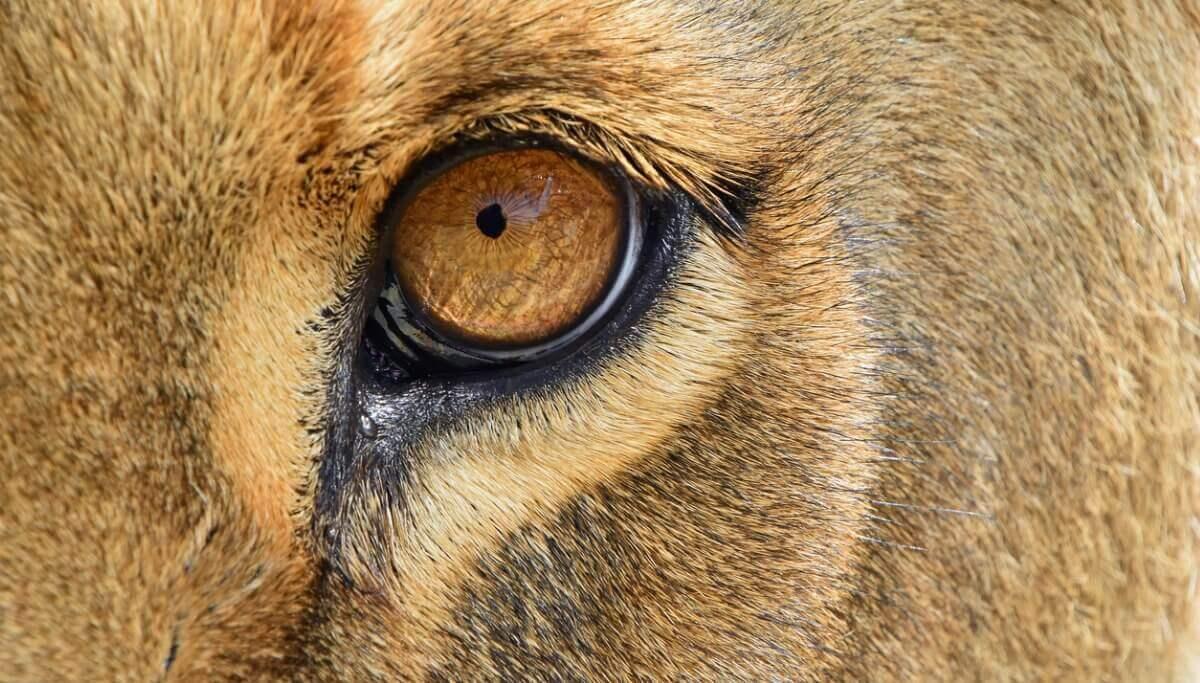 O jagleão é outro dos animais híbridos.