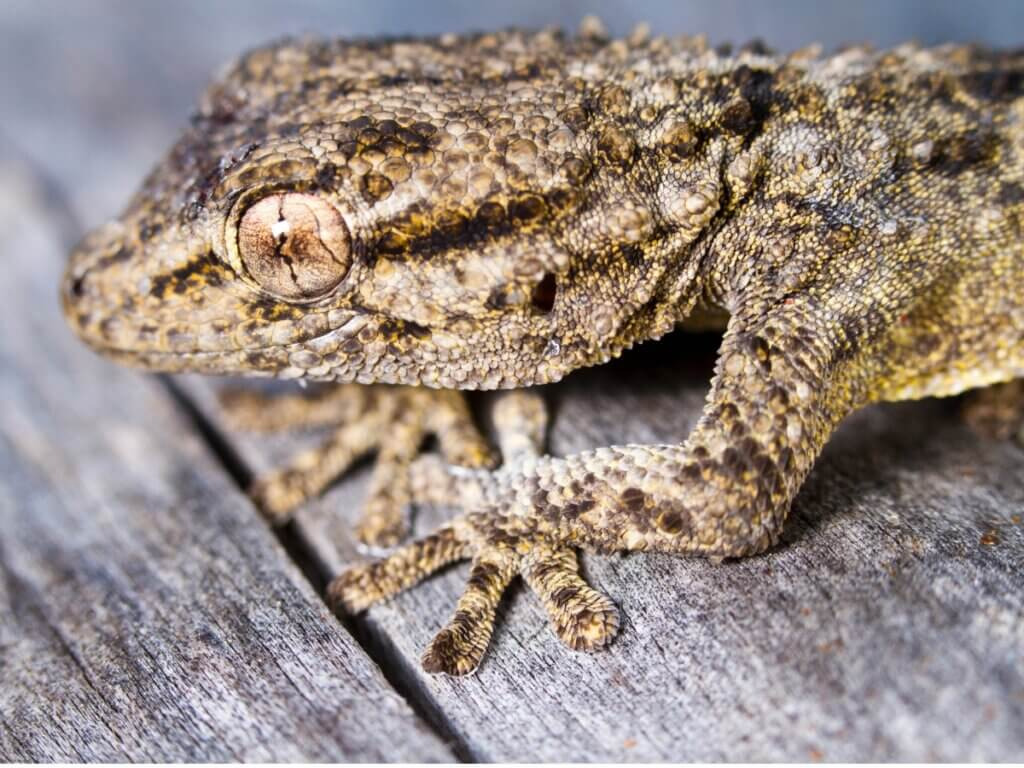 As lagartixas são venenosas?