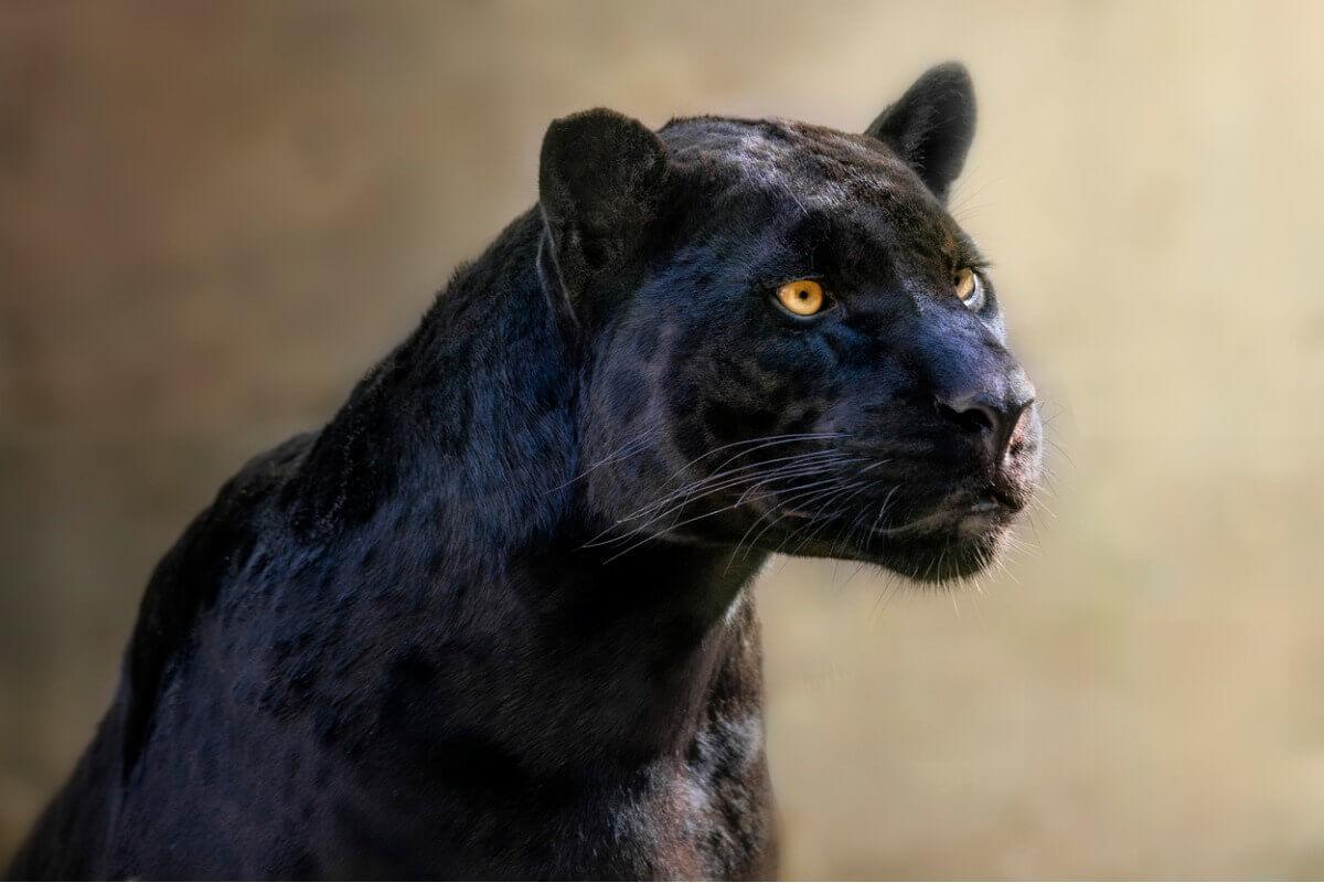 Uma pantera-negra.