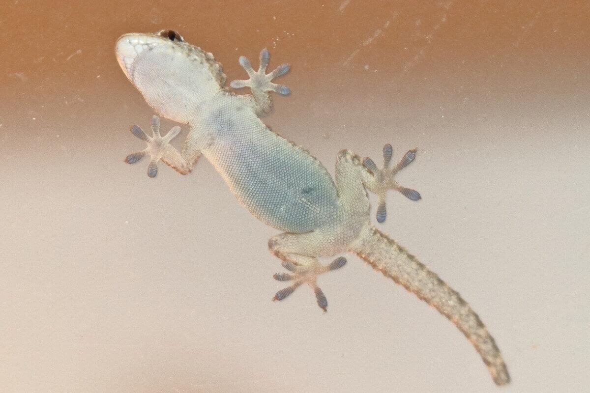 Uma lagartixa grudada no vidro.