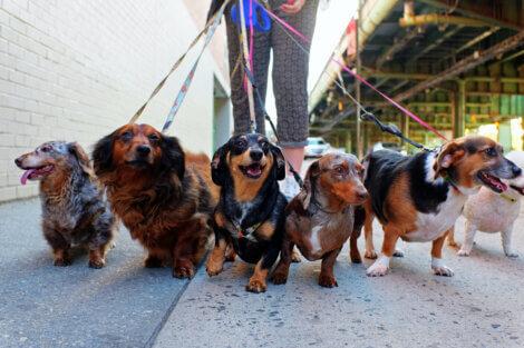 A caminhada diária é essencial para os cães.