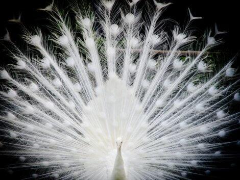 Um pavão albino mostrando sua cauda.