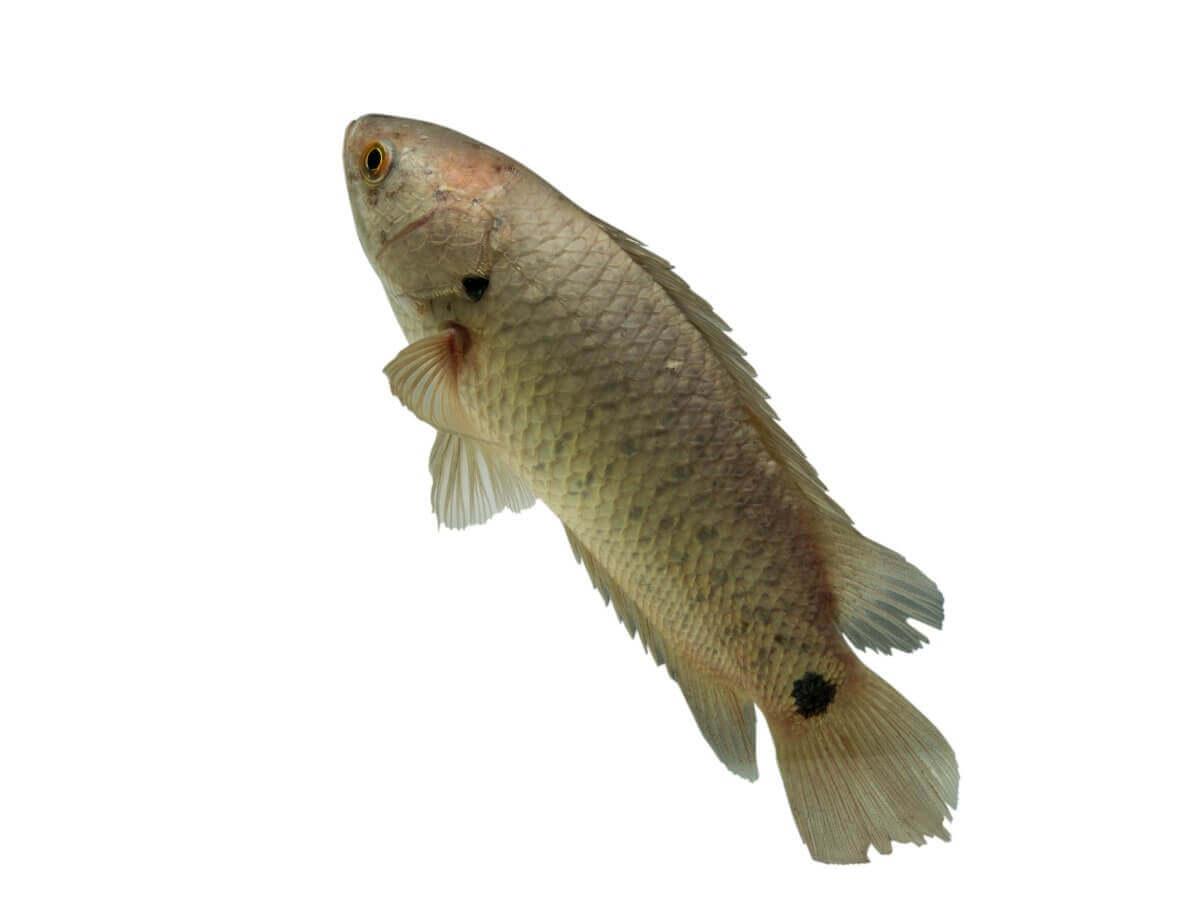 Um dos peixes que respiram fora d'água