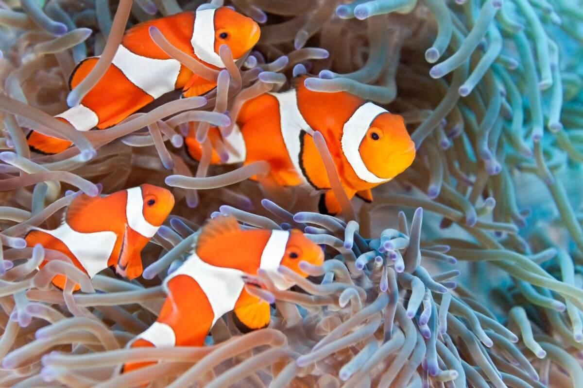 Um grupo de peixes-palhaço em uma anêmona.