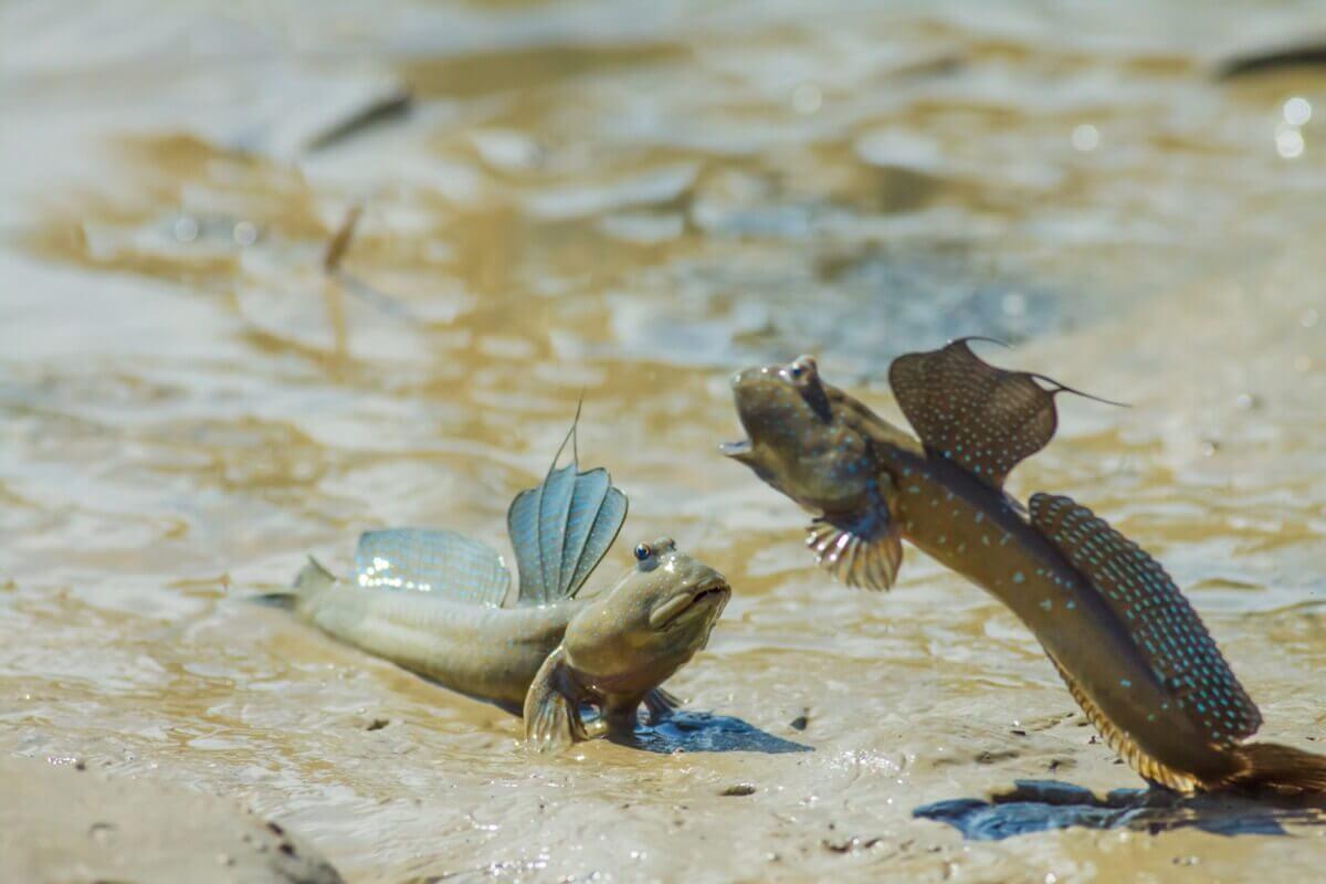 Uma luta entre saltadores-do-lodo