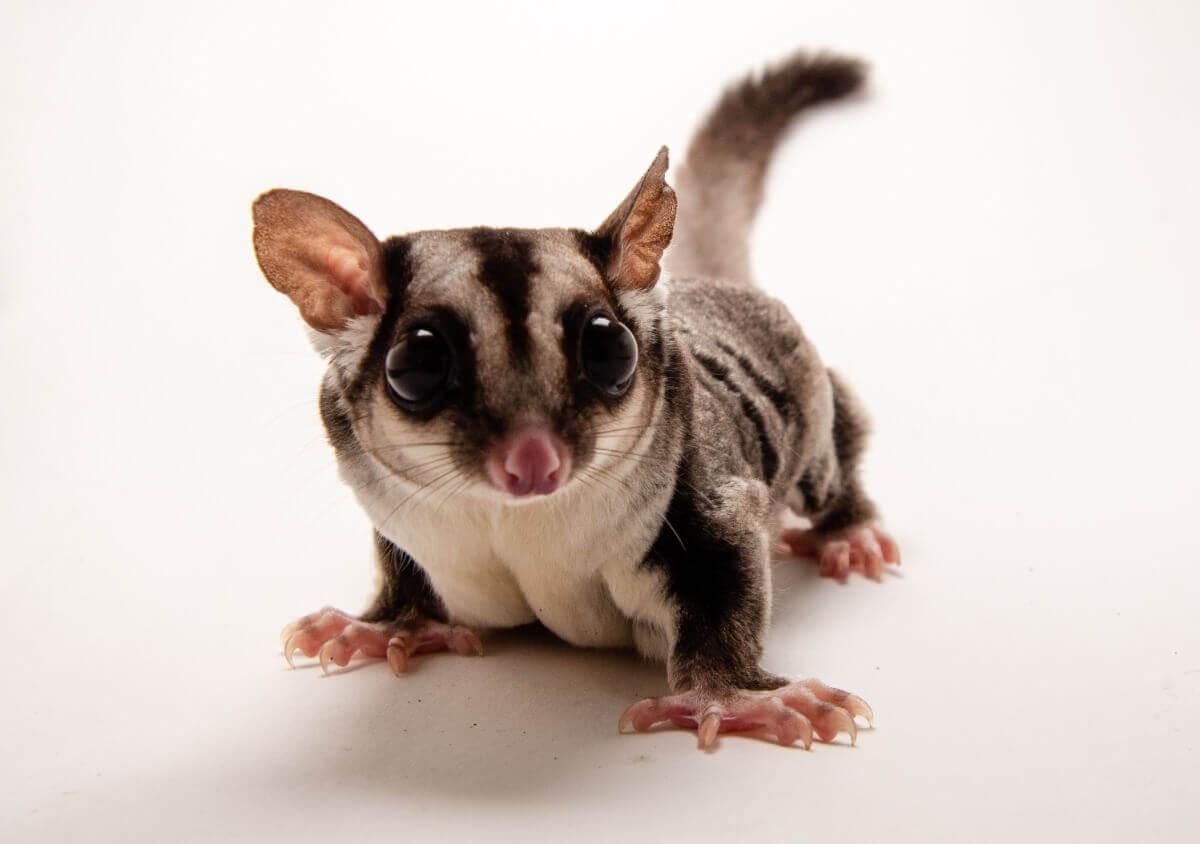 Um dos animais de estimação mais raros do mundo.