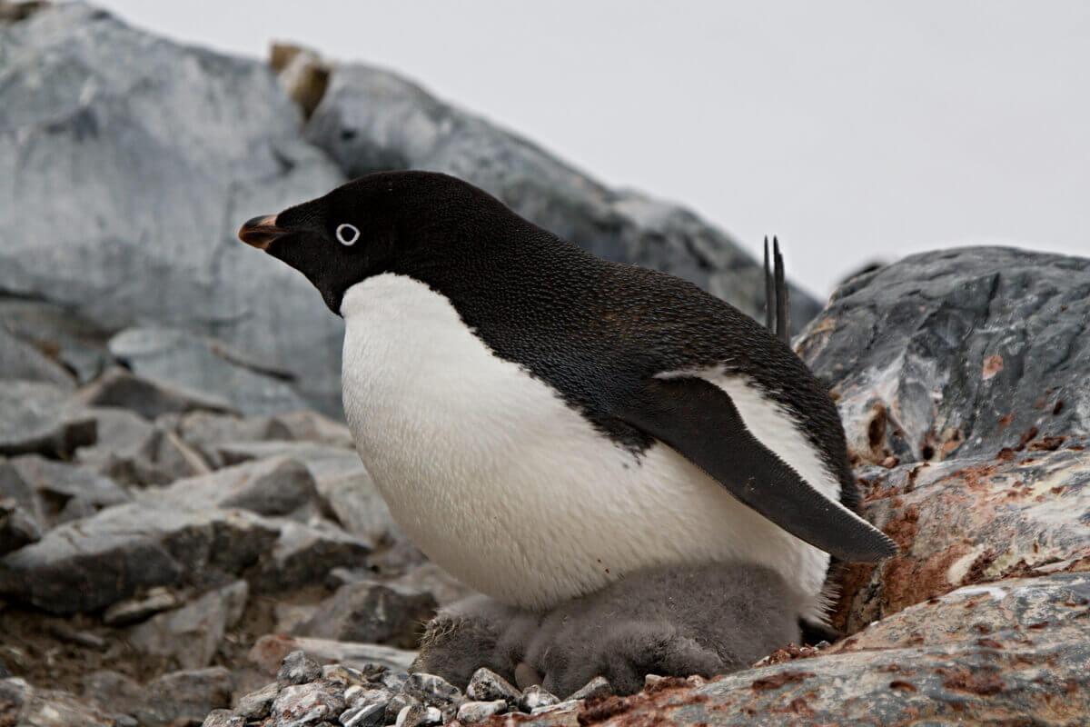 Um pinguim chocando um ovo.