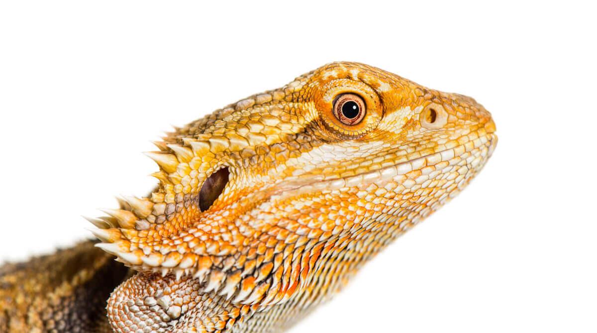 O rosto de um dragão-barbudo.