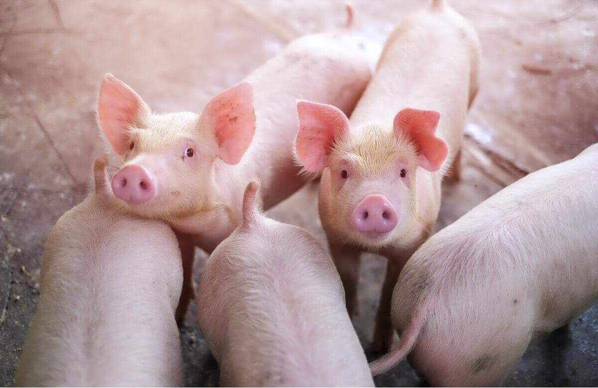 Um grupo de porcos da fazenda.