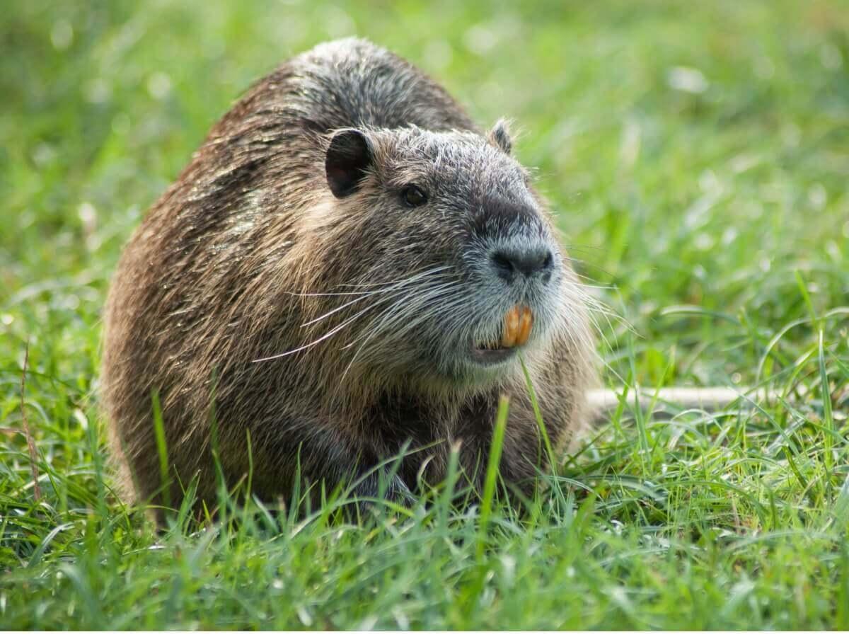 As diferenças entre castores e ratões-do-banhado