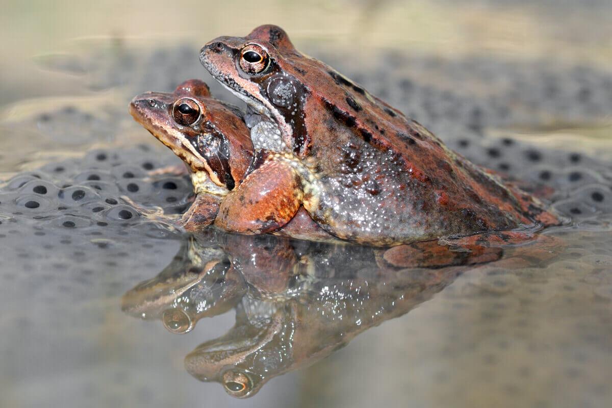 Por que os sapos cantam? Reprodução!
